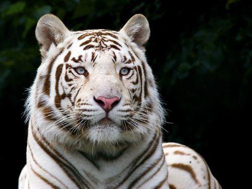 fotos-de-tigres-011
