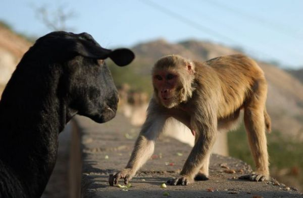 black-goat-and-monkey